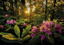 RHODODENDRON-MAGIC FOREST