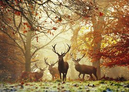 MAGIC FORESTS STAGS